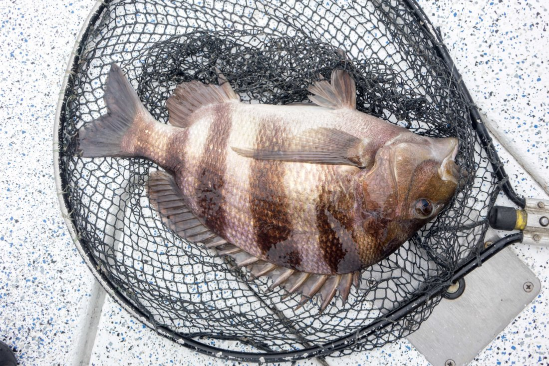 My favorite thing we caught all day: a gargantuan sheepshead. You don't get to eat this fish much outside of south Louisiana, but it's one of the best because of its flaky, tender meat not unlike lump crabmeat.
