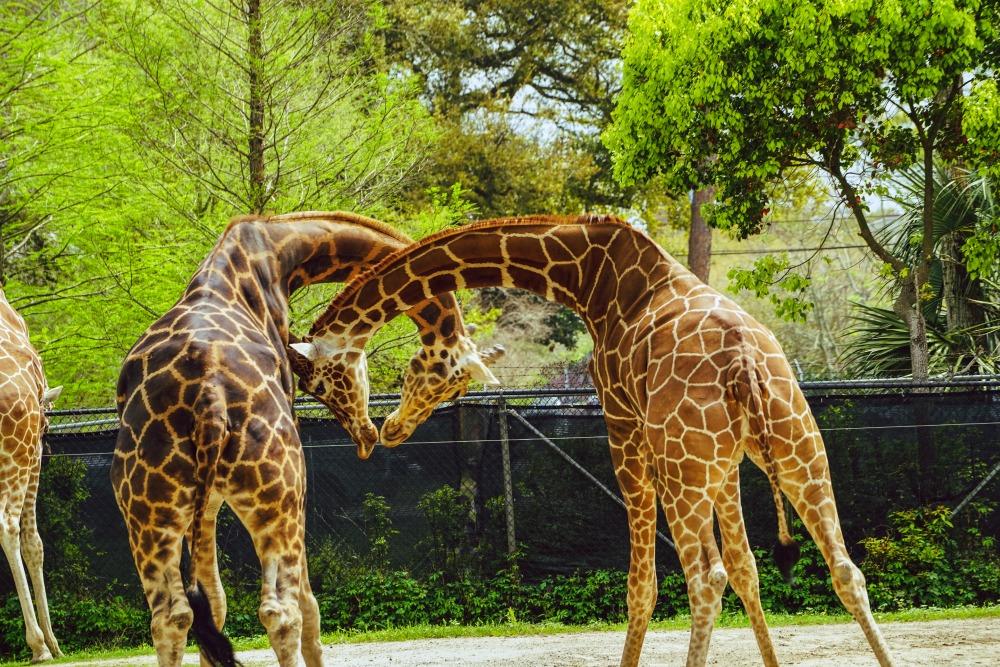 giraffes audubon zoo