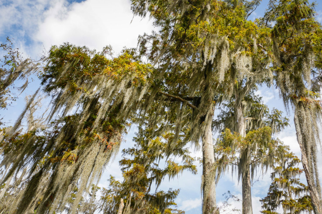 Look up! Beautiful cypress forests surround you as you paddle through Shell Bank Bayou.