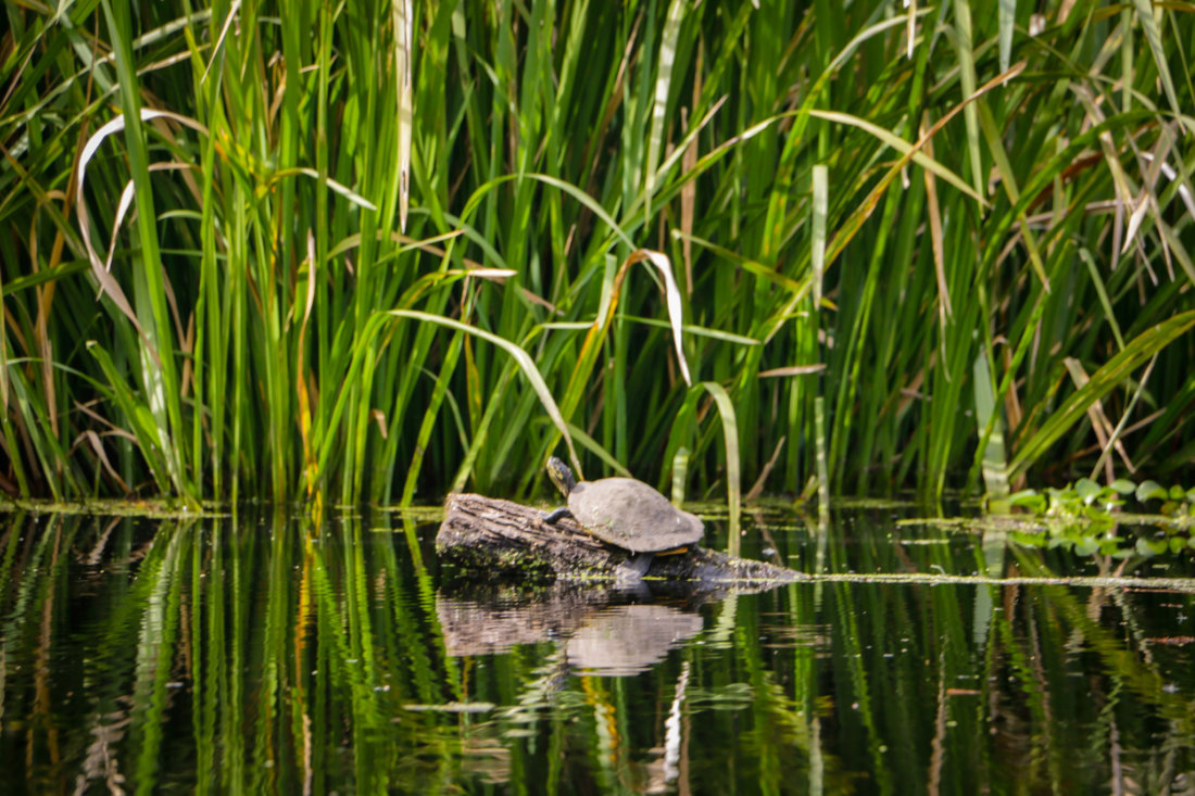 A turtle rests on a log near our launch point at Shell Bank Bayou.