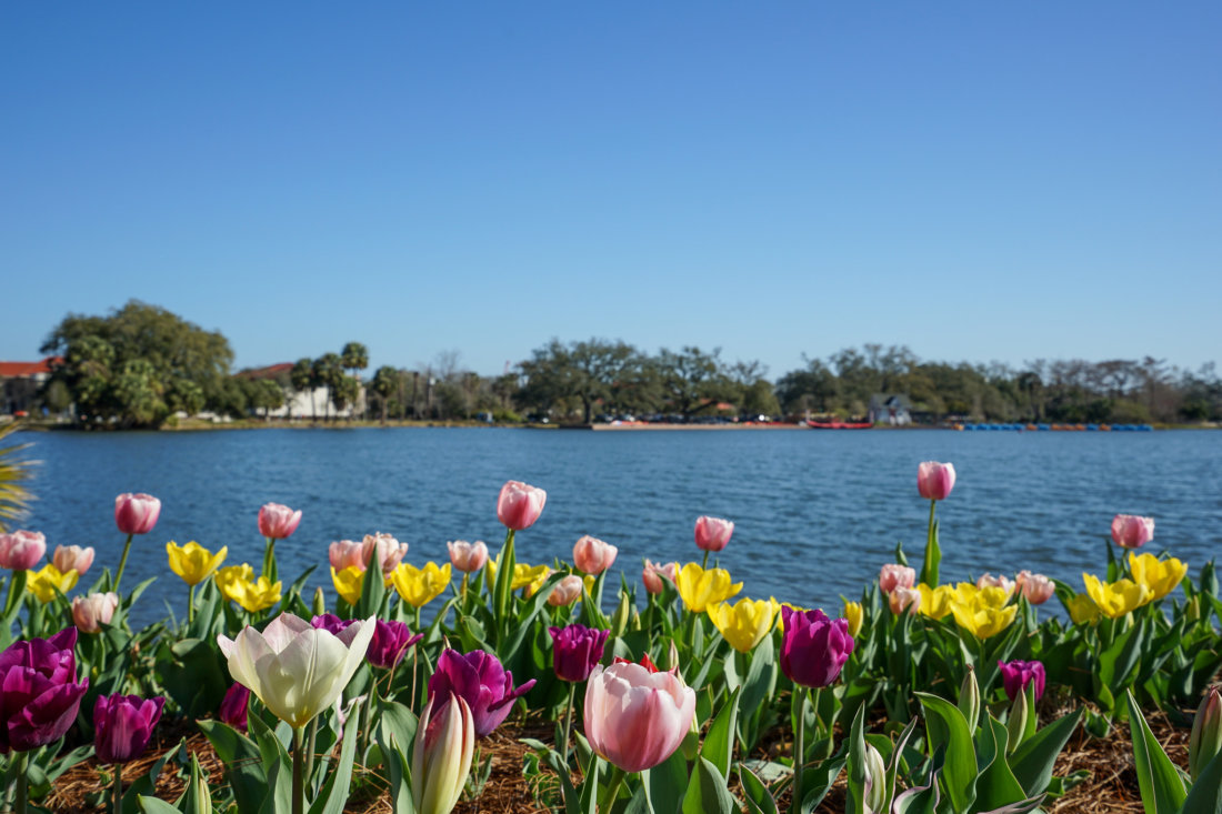 Tulips line the Big Lake at City Park. (Photo: Paul Broussard)